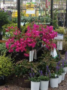bougainvillea, salvia, blush pink nandina