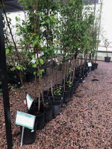 fruit trees - peach apple plum pear fig persimmon nectarine cherry pecan apricot