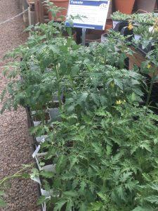 tomato plant transplants